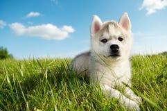 Chiot de crabot de chien de traîneau sibérien image libre de droits