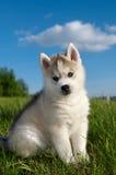 Chiot de crabot de chien de traîneau sibérien Photos libres de droits