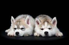Chiot de crabot de chien de traîneau sibérien Photographie stock libre de droits