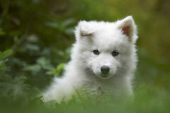 Chiot de crabot de Samoyed Photo libre de droits