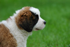 Chiot de crabot de St.Bernard Photo stock