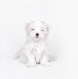 Chiot de crabot maltais Photo stock