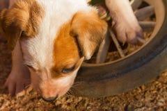 Chiot de croix de terrier de renard de Jack Russell Photos libres de droits