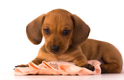 Chiot de Dachshund Images stock