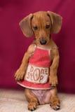 chiot de dachshund Photos libres de droits