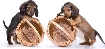 Chiot de Dachshund Image stock