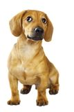 chiot de dachshund Photos stock
