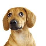 chiot de dachshund Image libre de droits