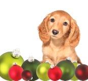 Chiot de dachshund de Noël photos libres de droits