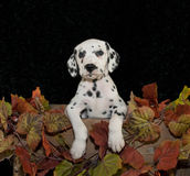 Chiot de Dalmation Photos stock