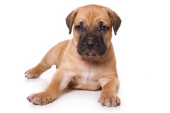 Chiot de Dogo Canario image stock