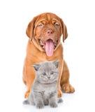 chiot de dogue de Bordeaux et chaton écossais se reposant ensemble D'isolement sur le blanc Photographie stock