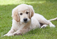 Chiot de golden retriever Image libre de droits