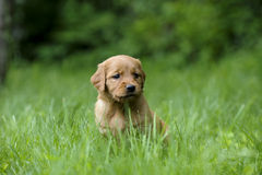 Chiot de golden retriever, Image libre de droits
