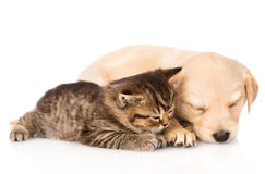 Chiot de golden retriever et chat britannique dormant ensemble D'isolement Photographie stock