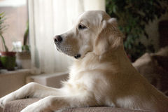 Chiot de golden retriever sur le divan Photo stock