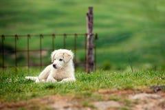Chiot de grand chien pyrénéen de montagne images libres de droits