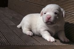 Chiot de Jack Russel Photo stock