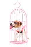 Jack Russel dans la cage romantique Photo libre de droits