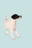 Chiot de Jack Russell Photos stock