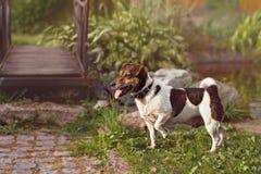Chiot de Jack Russell se tenant dans le profil dans l'herbe verte de poseon de chasse images stock
