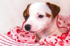Chiot de Jack Russell Terrier dans le rétro style photographie stock libre de droits