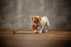 Chiot de Jack Russell Terrier jouant avec la boule orange avec une corde photo stock