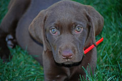 Chiot de laboratoire de chocolat photo stock