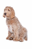 Chiot de Labradoodle Photo stock