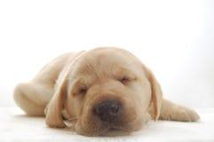 Chiot de Labrador Photos libres de droits