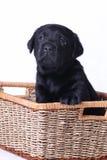 Chiot de Labrador Photographie stock