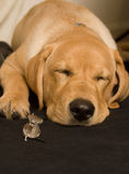 Chiot de Labrador Images stock