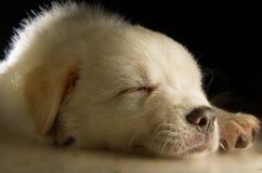 Chiot de Labrador Image libre de droits