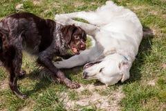 Chiot de Labrador Image stock