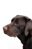 Chiot de Labrador Photo libre de droits