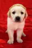Chiot de Labrador avec la couronne Photo stock