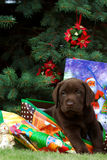 Chiot de Labrador - cadeau Image stock