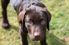 Chiot de Labrador contre l'herbe Images libres de droits