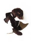 Chiot de Labrador déchirant un livre blanc Images stock