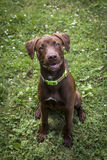 Chiot de Labrador de chocolat Image stock