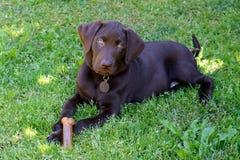 Chiot de Labrador de chocolat Photographie stock libre de droits