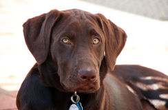 Chiot de Labrador de chocolat photographie stock