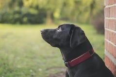 Chiot de Labrador de chocolat dehors Image libre de droits