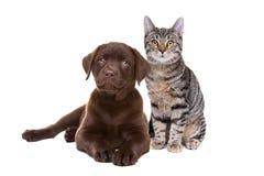 Chiot de Labrador de chocolat et un chat aux cheveux courts européen Photos stock
