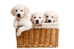 Chiot de Labrador de trois blancs dans un panier en osier Photo stock