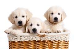 Chiot de Labrador de trois blancs dans un panier en osier Image stock