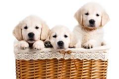 Chiot de Labrador de trois blancs dans un panier en osier Photo libre de droits