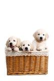 Chiot de Labrador de trois blancs dans un panier en osier Photographie stock libre de droits