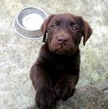 Chiot de Labrador du chocolat de l'éleveur de chiens à vendre Images libres de droits