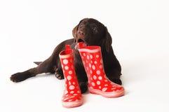 Chiot de Labrador mâchant sur les bottes en caoutchouc sur un fond blanc Photographie stock libre de droits